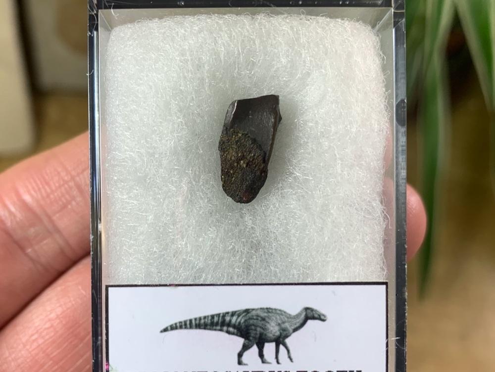 Edmontosaurus Tooth #17
