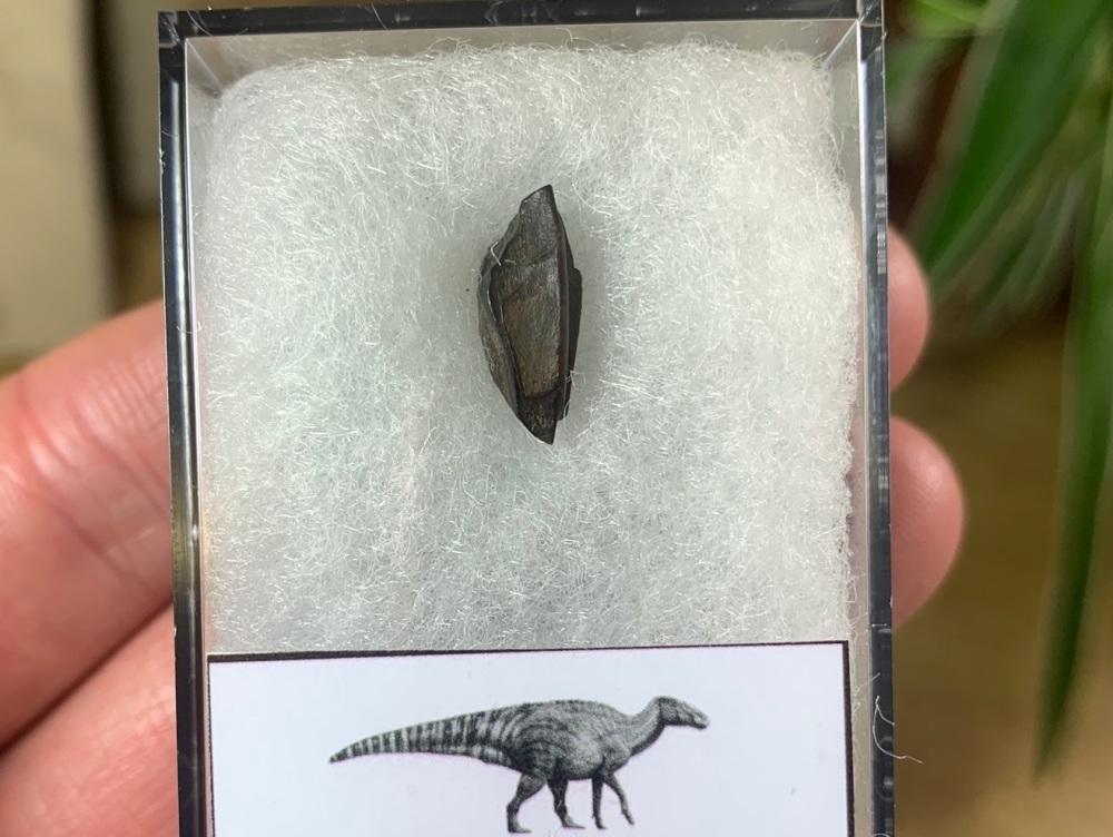 Edmontosaurus Tooth #18