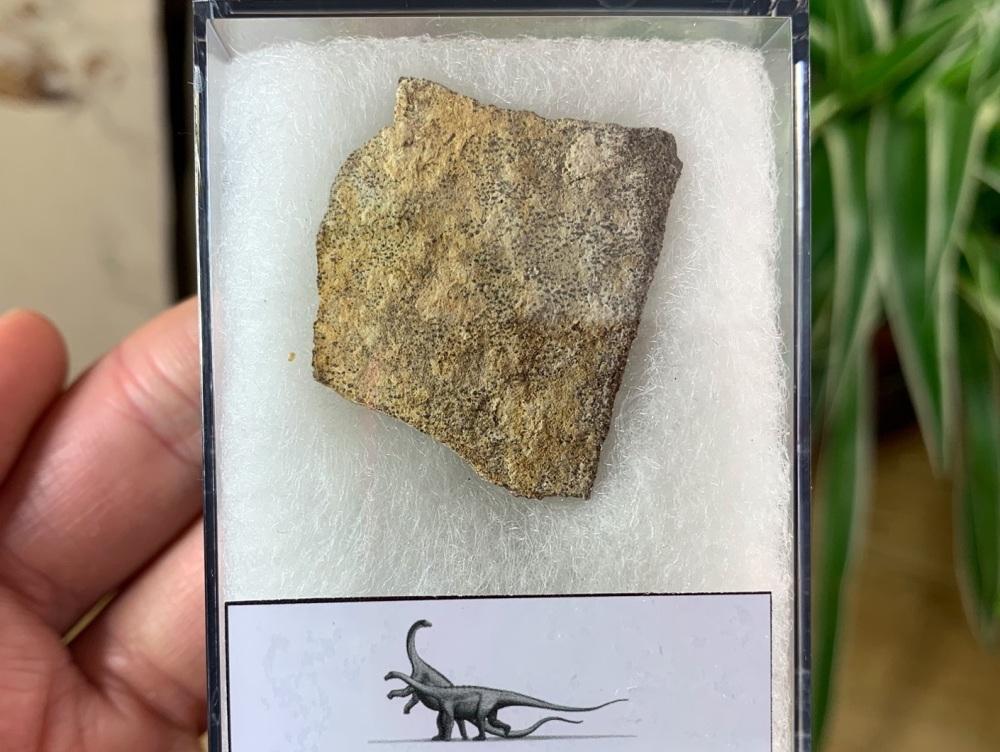 Saltasaurus Sauropod Eggshell #06