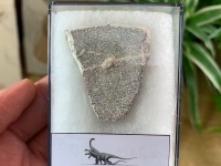 Saltasaurus Sauropod Eggshell #07