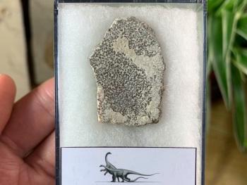 Saltasaurus Sauropod Eggshell #10
