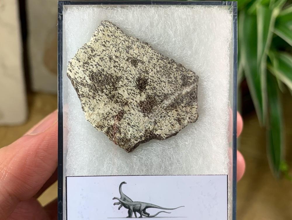 Saltasaurus Sauropod Eggshell #11