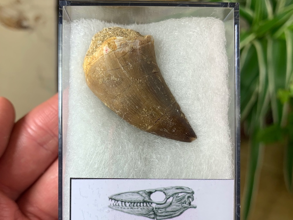 Large Mosasaur Tooth (1.5 inch) #01