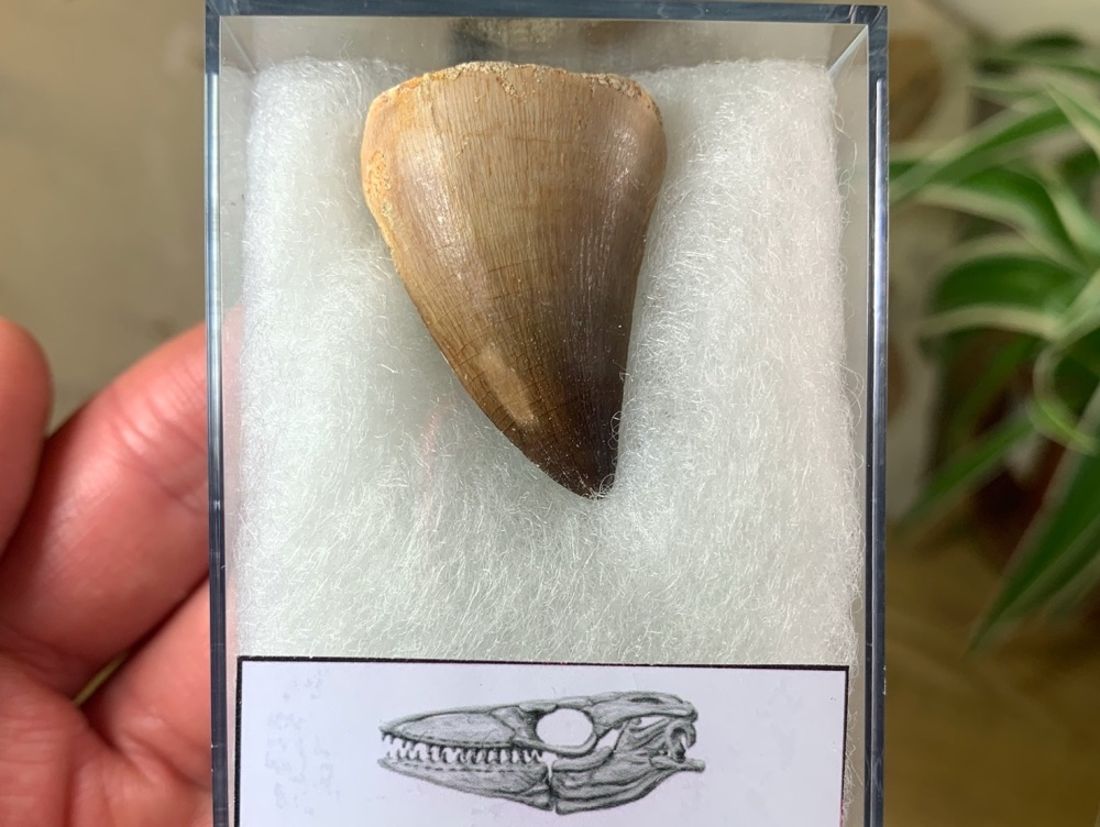 Mosasaur Tooth (1.25 inch) #02