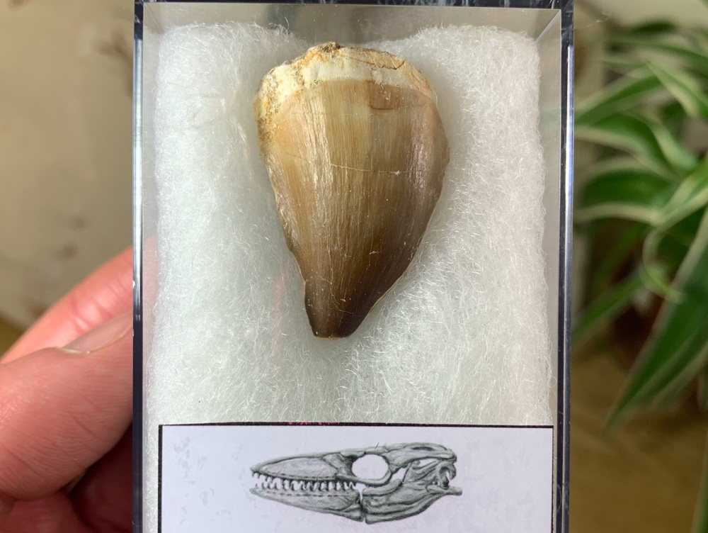 Mosasaur Tooth (1.31 inch) #03