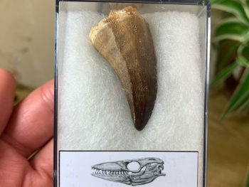 Mosasaur Tooth (1.56 inch) #05