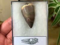 Mosasaur Tooth (1.38 inch) #06