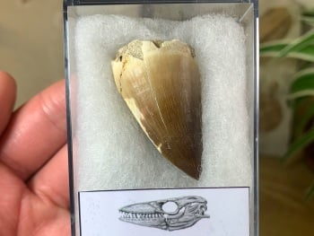 Mosasaur Tooth (1.56 inch) #07