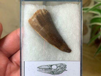 Mosasaur Tooth (1.75 inch) #08
