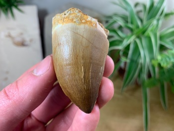 Large Mosasaur Tooth (2.06 inch) #12
