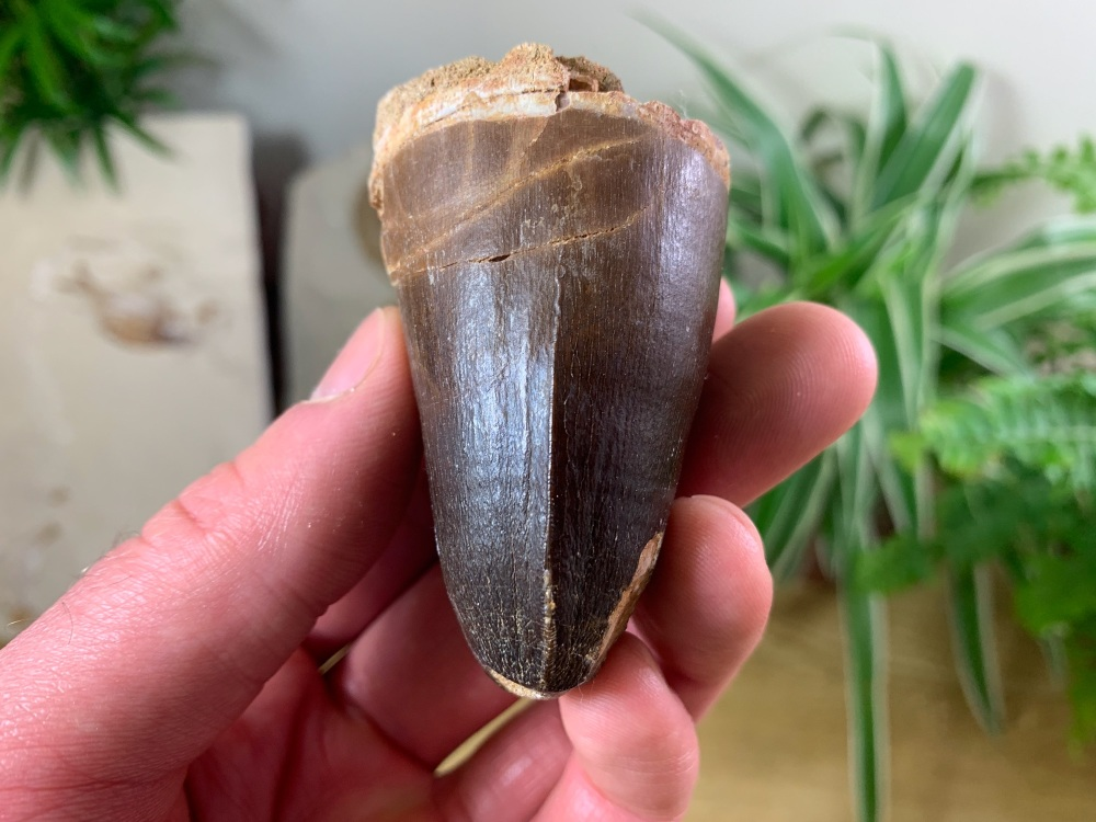 Extra Large Mosasaur Tooth (2.5 inch) #14