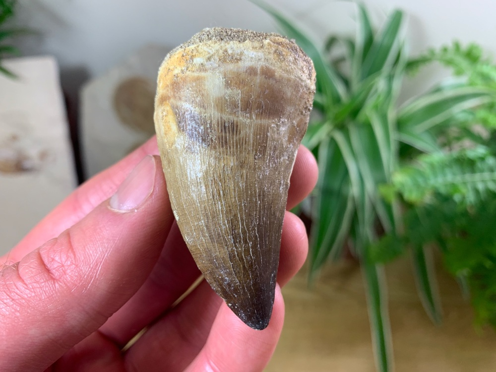 Large Mosasaur Tooth (2.31 inch) #17