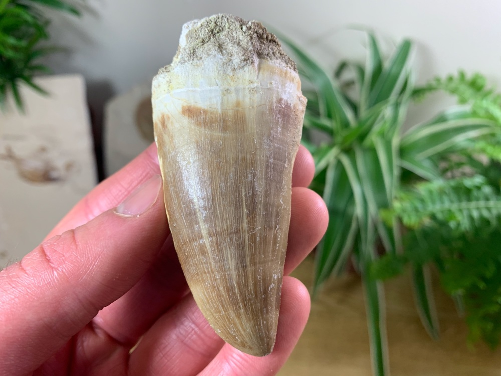 Huge Mosasaur Tooth (2.69 inch) #18