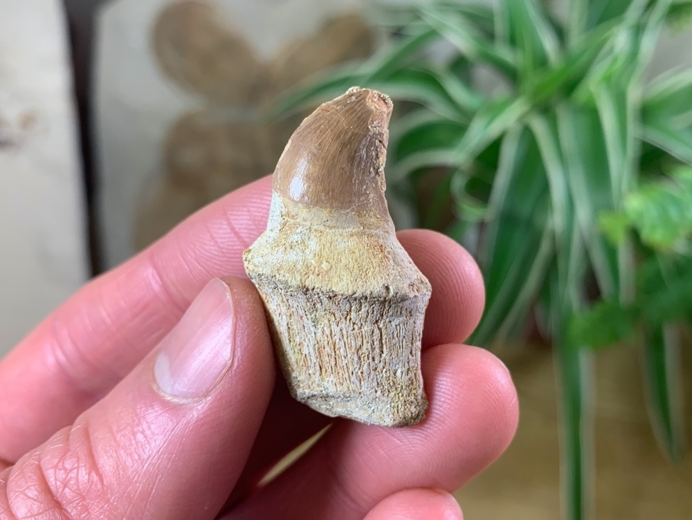 Rooted Mosasaur Tooth (1.5 inch) #04