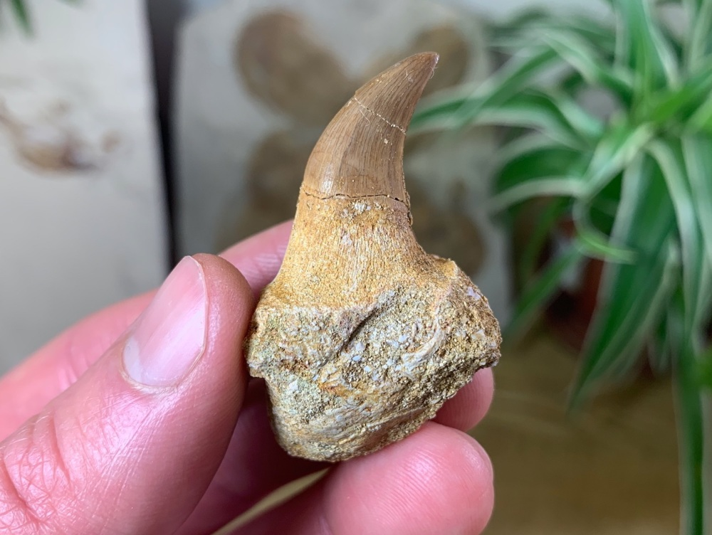 Rooted Mosasaur Tooth (1.88 inch) #08
