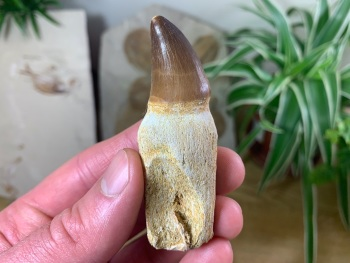 Rooted Mosasaur Tooth (2.94 inch) #09