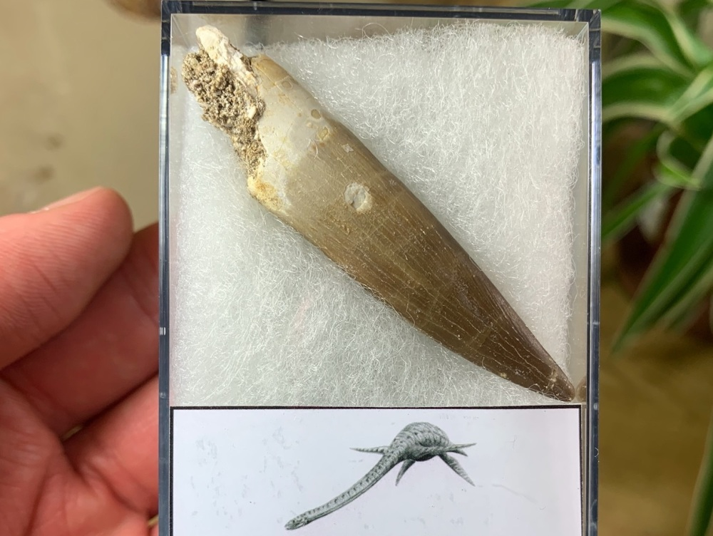 Plesiosaur Tooth (2.5 inch) #01