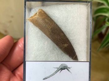 Plesiosaur Tooth (2.19 inch) #02