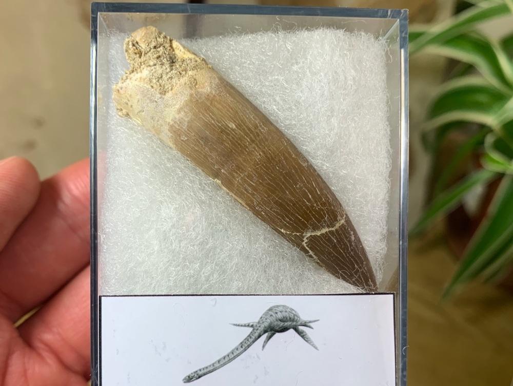 Plesiosaur Tooth (2.44 inch) #03