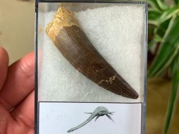 Plesiosaur Tooth (2.25 inch) #04