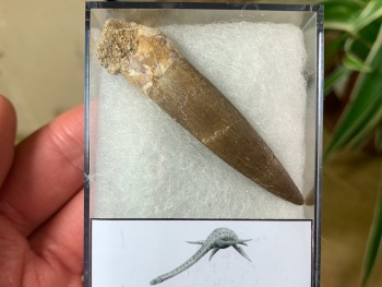 Plesiosaur Tooth (2.13 inch) #05