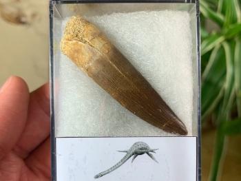Plesiosaur Tooth (2.38 inch) #06