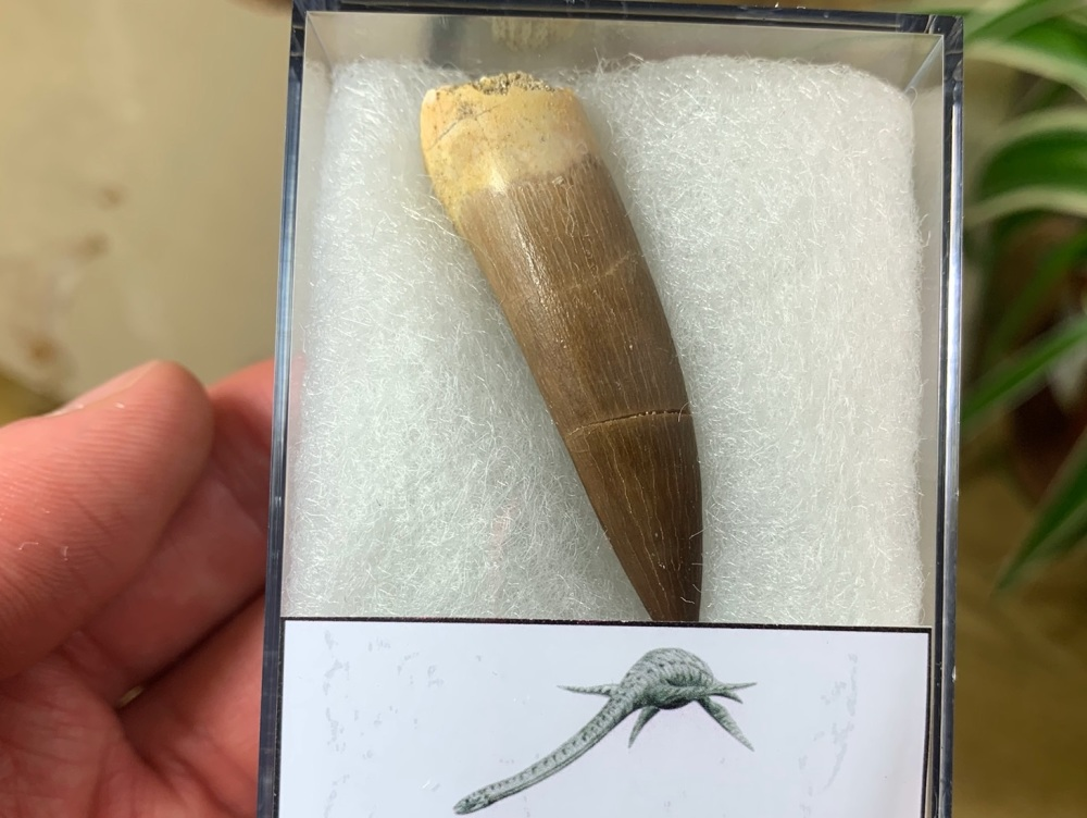 Plesiosaur Tooth (1.88 inch) #07
