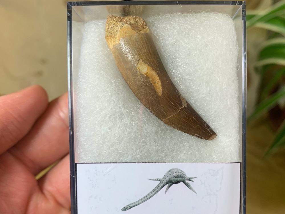 Plesiosaur Tooth (1.88 inch) #08