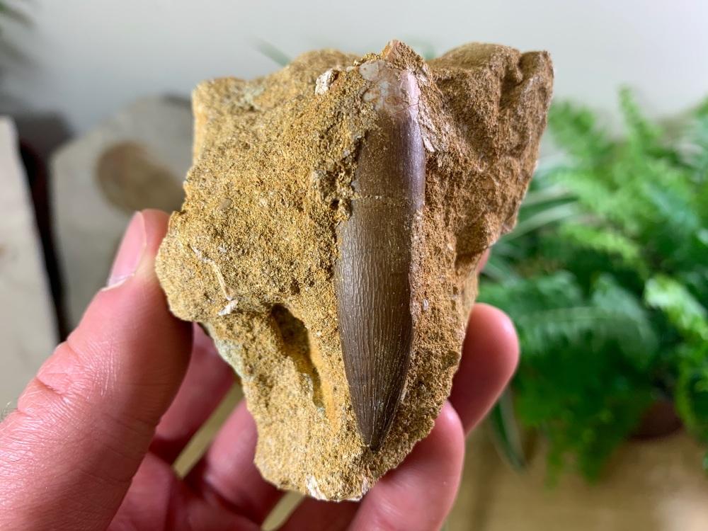 Plesiosaur Tooth on Matrix (2.13 inch) #02