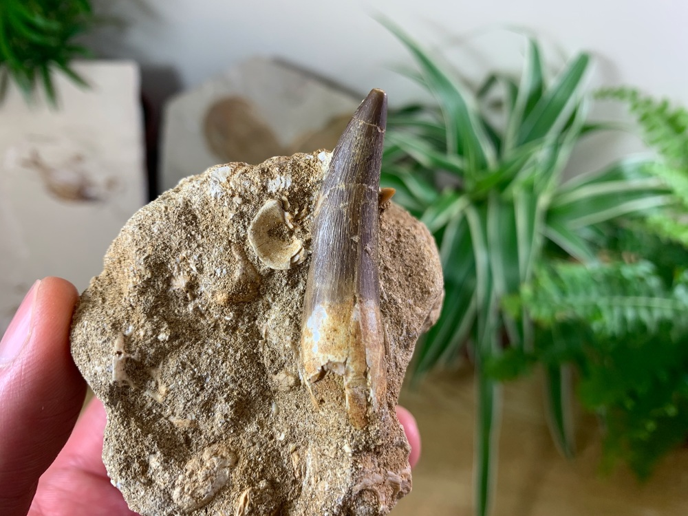 Plesiosaur Tooth on Matrix (1.88 inch) #03