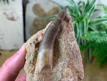 Plesiosaur Tooth on Matrix (2.5 inch) #04