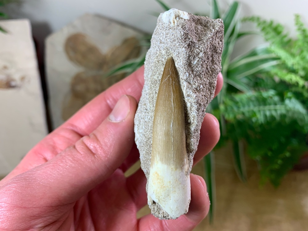 Plesiosaur Tooth on Matrix (2.31 inch) #06