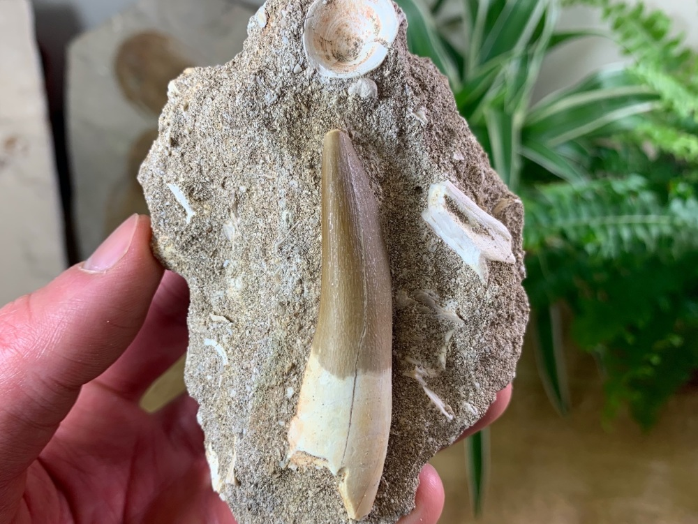 Plesiosaur Tooth on Matrix (2.5 inch) #07
