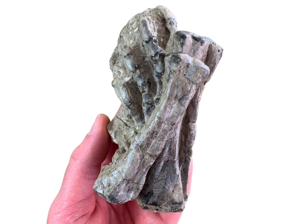 Jeholosaurus Dinosaur Foot & Leg