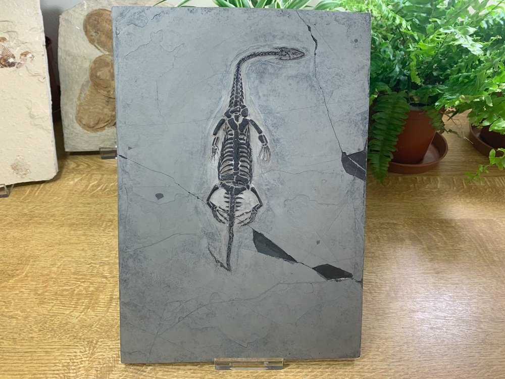 Keichousaurus hui, Marine Reptile #01