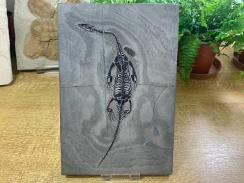 Keichousaurus hui, Marine Reptile #02