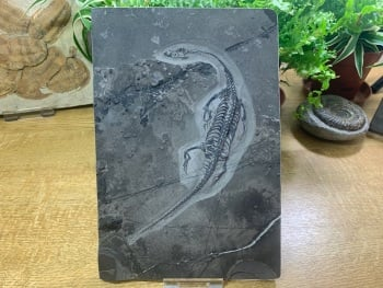 Keichousaurus hui, Marine Reptile #04
