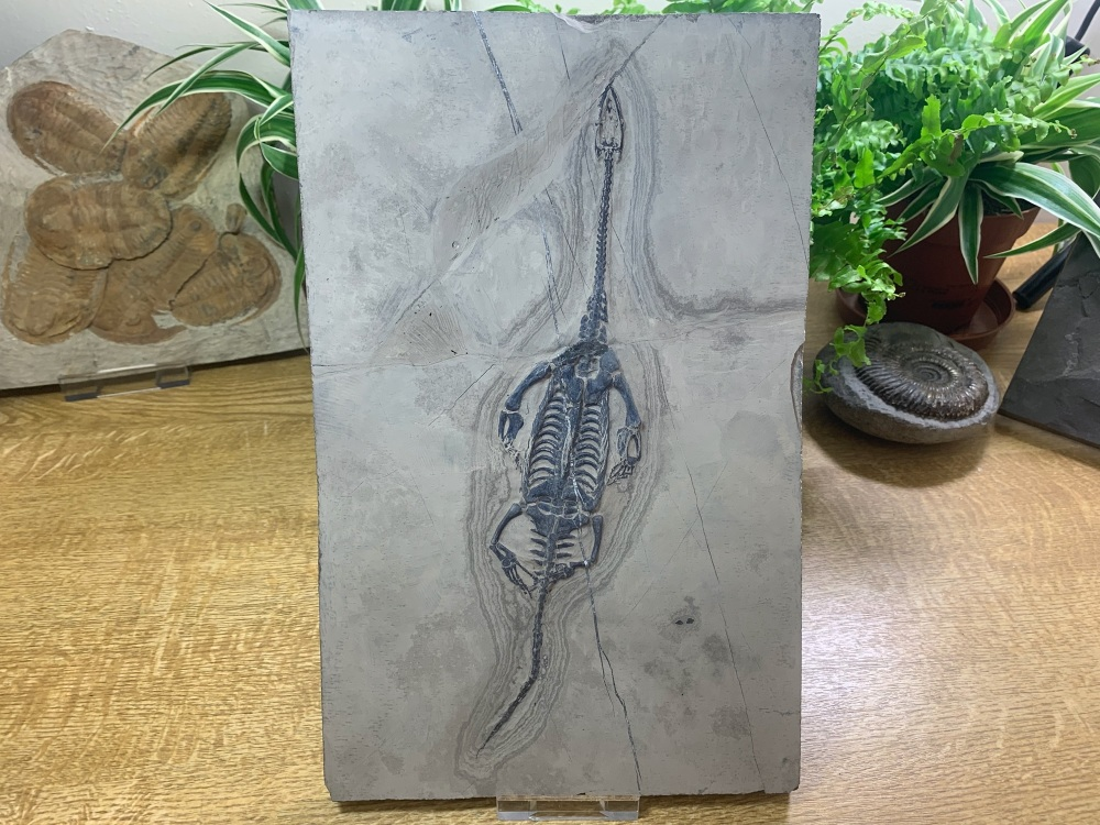 Keichousaurus hui, Marine Reptile #06