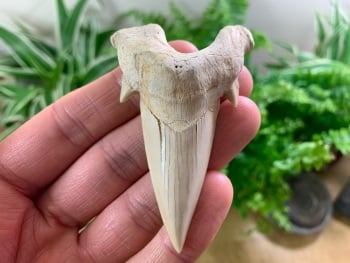 QUALITY Otodus obliquus Shark Tooth (2.88 inch) #05