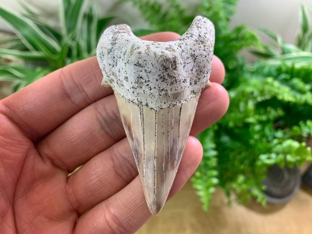 QUALITY Otodus obliquus Shark Tooth (3.06 inch) #10