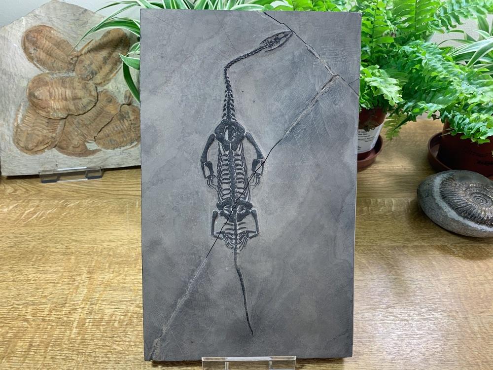 Keichousaurus hui, Marine Reptile #07