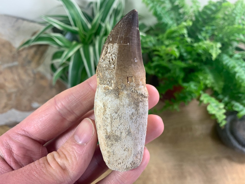Rooted Mosasaur Tooth (3.5 inch) #12