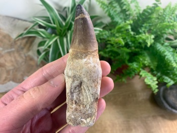 Rooted Mosasaur Tooth (4.13 inch) #13