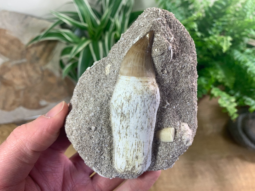 Rooted Mosasaur Tooth on Matrix (3.25 inch) #03