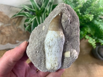 Rooted Mosasaur Tooth on Matrix (3.13 inch) #03