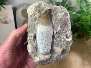 Rooted Mosasaur Tooth on Matrix (3.25 inch) #04