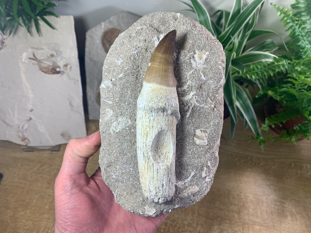 HUGE Rooted Mosasaur Tooth on Matrix (5 inch) #06