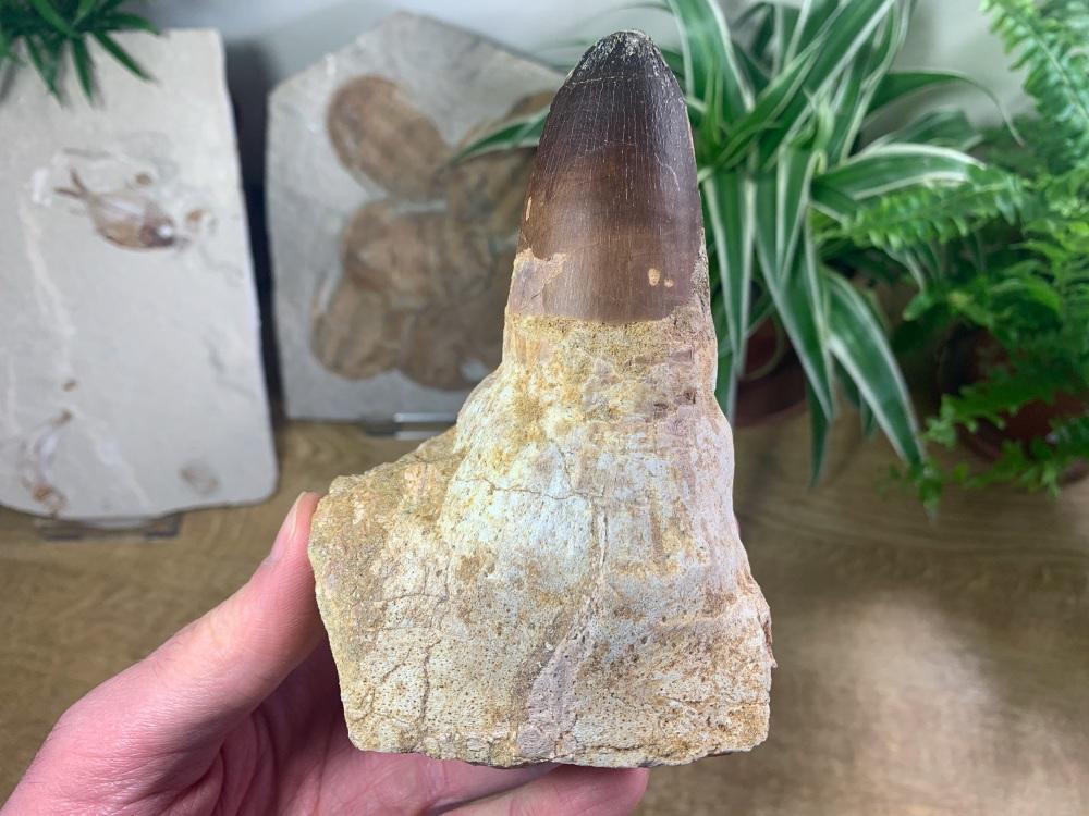 HUGE Mosasaur Tooth & Jaw (Prognathodon) #01