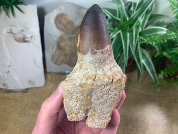 HUGE Mosasaur Tooth (Prognathodon) #03