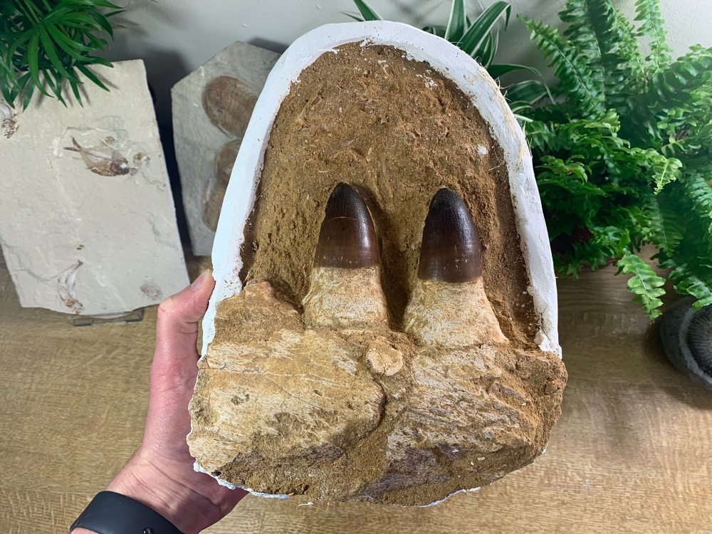 Mosasaur Jaw with Teeth (Prognathodon) #01